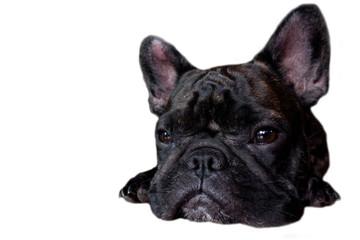 Tuinposter Franse bulldog french bulldog on isolate background