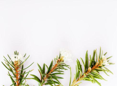 Marsh Northern Labrador Tea, Ledum palustre plant isolated on a white background.