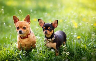 chihuahua, dog on grass,