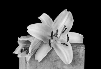 Two white lily blossoms monochrome macro,on a concrete stone cube with water droplet.detailed texture on black background in vintage painting style
