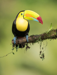 Garden Poster Toucan Toucan on a branch in nature