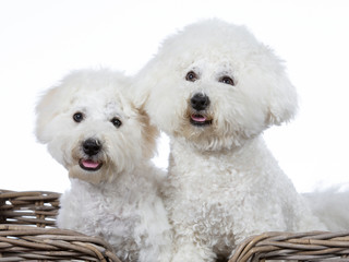 Two Bichon Frise dogs posing together in a studio. Image taken with a white background. Isolated on white.