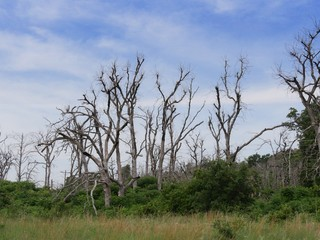 Leafless trees left over from a forest fire at the Wichita Mountains, Oklahoma.