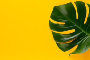 Tropical Jungle Leaf, Monstera, resting on flat surface, on yellow background.