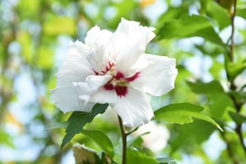 flowering hybiscus in a city garden