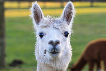 Photo sur Aluminium Lama Cute Alpaca on the farm. Beautifull and funny animals from ( Vicugna pacos ) is a species of South American camelid.