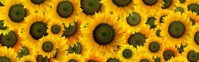 High resolution panoramic photo montage of individually colour graded Sunflowers