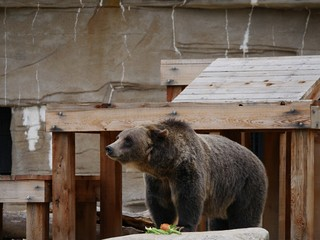 Grizzly bear coming out of a wooden shelter