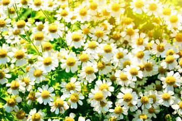 Wall Mural - Sommer Blumen - Kamille