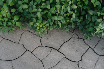 background with cracked soil and soybean field. Drought in agriculture. top view of drought in soy field with cracked soil.