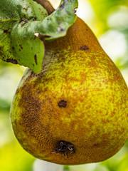 Single green pear on a tree