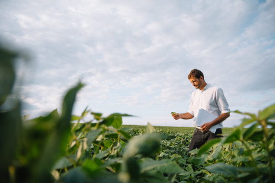 Agronomist inspecting soya bean crops growing in the farm field. Agriculture production concept. Agribusiness concept. agricultural engineer standing in a soy field