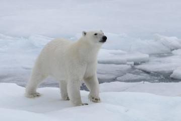 Fond de hotte en verre imprimé Ours Blanc Wild polar bear on pack ice in Arctic sea