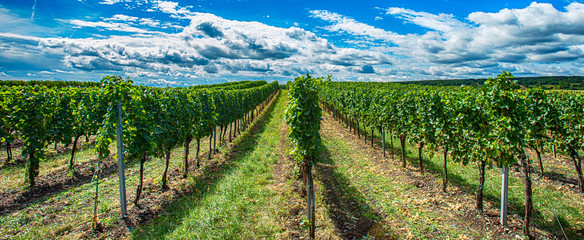 Poster Vineyard green vineyards landscape in summer time