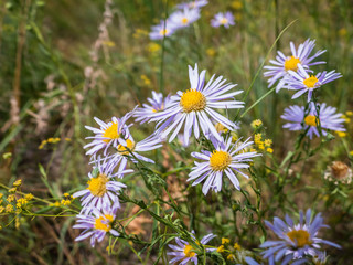The chamomile in the russian field
