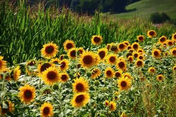 Fotoväggar - blühstreifen   mit sonnenblumen  am maisfeld