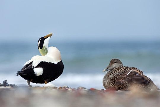 common eider, somateria mollissima, cuddy's duck, Helgoland, Dune island