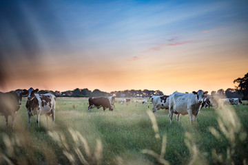 Foto auf Acrylglas Khaki Dairy cattle in summer meadow at sunset.