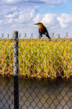 Female boat tailed grackle sits on fence along alligator alley