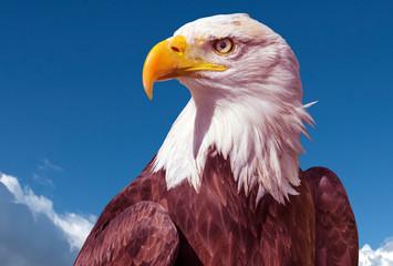 Bald Eagle (Haliaeetus leucocephalus) portrait Fototapete
