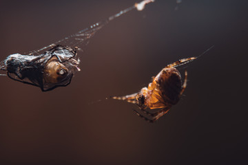 Macro picture of spider on a cobweb eating insect, clean background