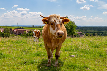 happy dairy cows on a meadow in german region Odenwald