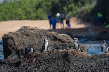 Group of penguins on a rock with tourists in background on Santiago Island, Galapagos Island, Ecuador, South America.