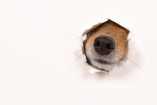 Dog nose sticking through a  white background with copy space