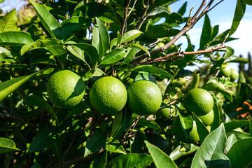 Fresh green lemons on the tree in the garden Wall mural