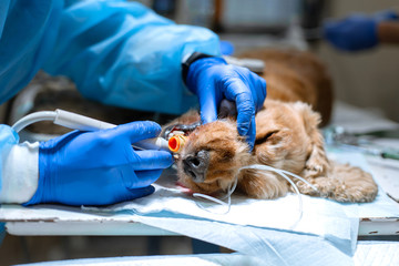 Veterinary dentistry. Dentist surgeon veterinarian cleans and treats a dog's teeth under anesthesia on the operating table in a veterinary clinic. Ultrasonic scaler in the hands of a close-up