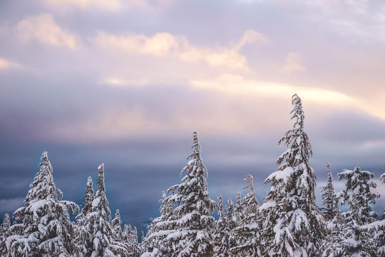 Wide shot of spruces filled with white snow under a clear pinkish sky