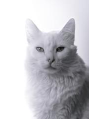 Retrato preto e branco de gato branco