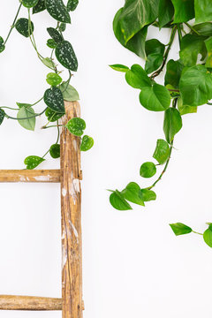 Interior design detail of philodendron and pothos house plants and wood ladder