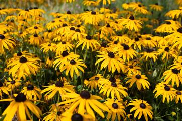Black-eyed Susan flowers growing wild in Amsterdam