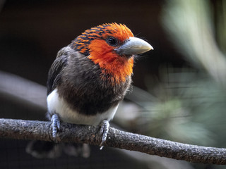 Brown-breasted Barbet, Lybius melanopterus, has a beautiful red head and white tummy