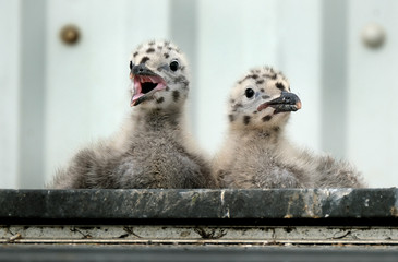 Herring gull family living on public house itchen roof rather than cliff.