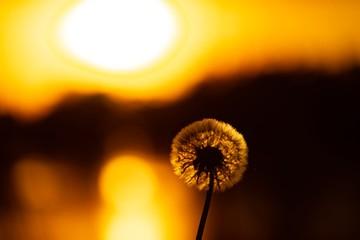 In de dag Bruin dandelion, sun in soft landscape