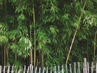 Bambuswald hinter einem Holzzaun