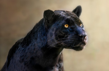 Keuken foto achterwand Panter portrait of a jaguar
