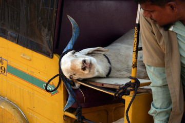 An auto rickshaw driver looks at a goat tied inside his rickshaw after a man bought it from a livestock market ahead of the Muslim festival of Eid al-Adha on the outskirts of Chennai