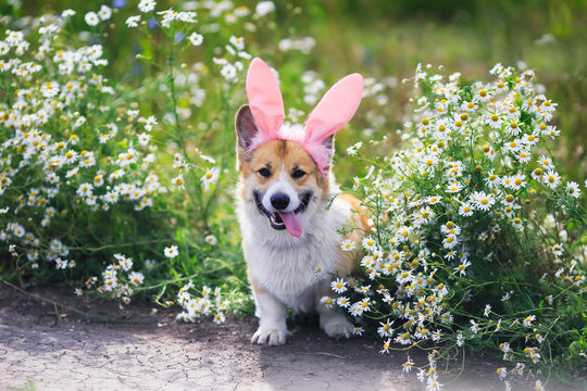 cute puppy dog red Corgi in Easter pink rabbit ears sits in a meadow surrounded by white chamomile flowers on a Sunny clear day