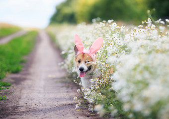 cute happy puppy dog red Corgi in festive Easter pink rabbit ears on meadow peeps out from white flowers chamomile in Sunny clear day funny sticking out language