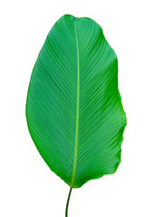 Fototapete - Banana leaves isolates green leaves white background