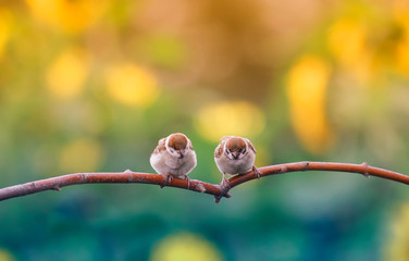 Wall Mural - two funny little chubby Sparrow Chicks sitting on a branch in a Sunny summer garden on a background of bright yellow flowers