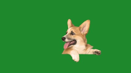Wall Mural - dog peeps, looks and barks on a green screen