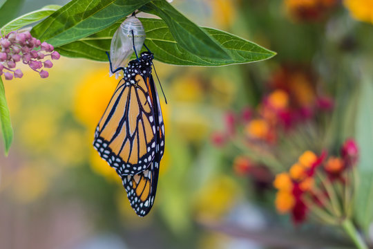 Monarch Butterfly, Danaus Plexppus, drying wings, yellow flowers background