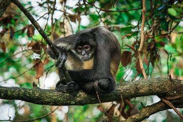 Foto op Aluminium Aap Endemic Monkey in the Jungles, Rain Forest, Belize