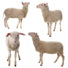 In de dag Schapen sheep isolated on a white background - collection