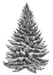 Spruce pine tree illustration, drawing, engraving, ink, line art, vector
