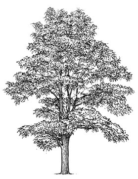 Black locust tree illustration, drawing, engraving, ink, line art, vector